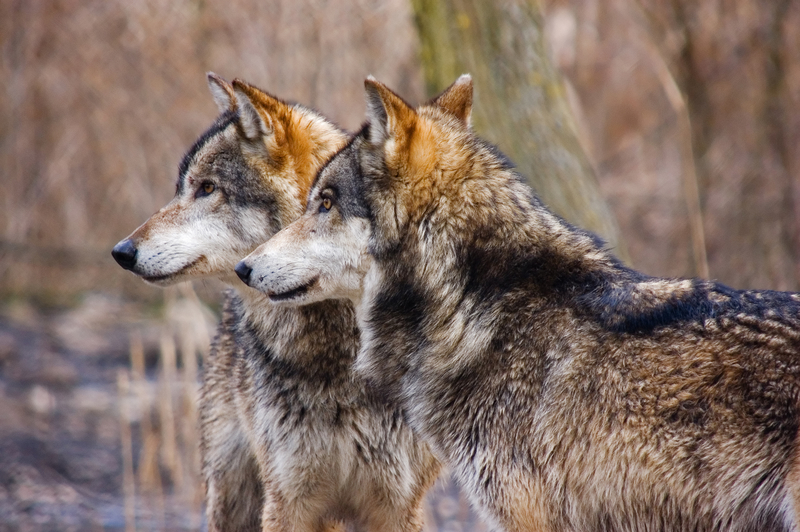 The Tale of the Two Wolves: Which One Are You Feeding?